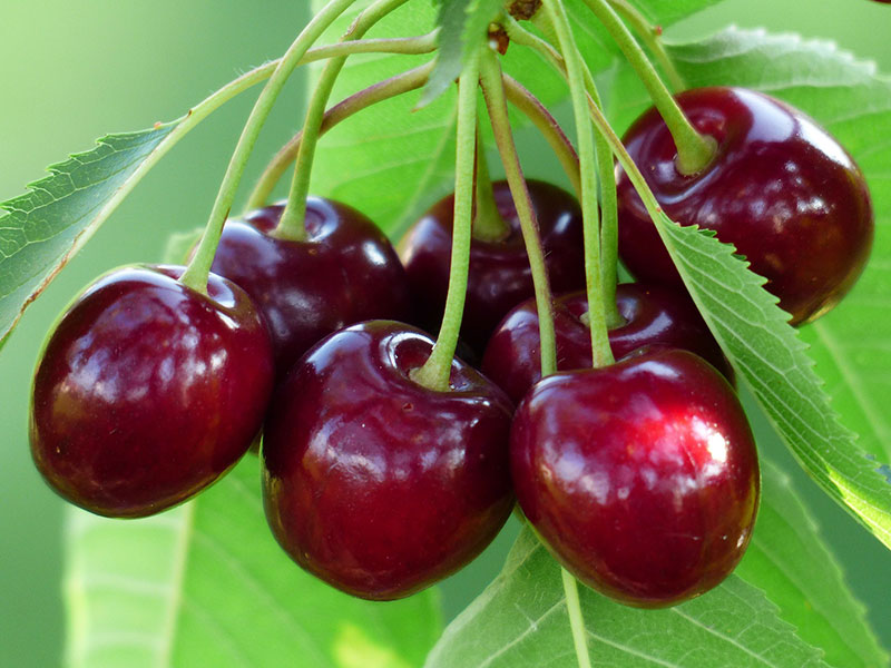Cherries. Image by Hans Braxmeier from Pixabay